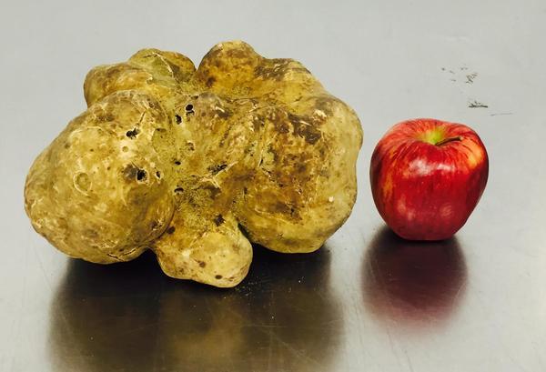 Largest truffle size